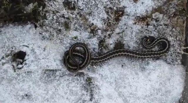 Kış mevsiminde görülen yılan şaşırttı