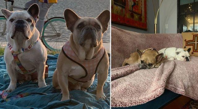 Lady Gaga'nın çalınan köpekleri bulundu: 500.000 dolar ödül koymuştu