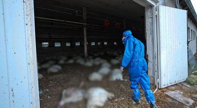 Rusya'da kuş gribi kümes hayvanlarından insanlara geçti