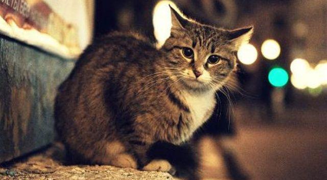 Adana'da 3 sokak kedisi zehirlenmiş halde bulundu