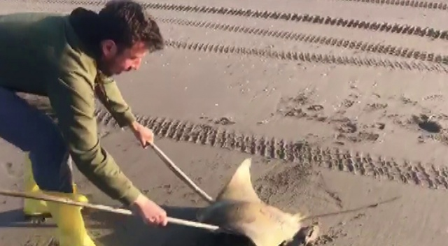 Adana'da sahilde mandabaş vatoz bulundu