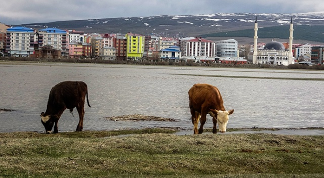 Ardahan'da nehir taştı, tarım arazilerini su bastı