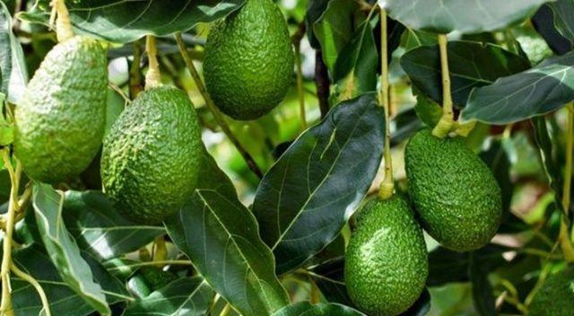 Avokado üreticileri 11 milyon dolar kazandı