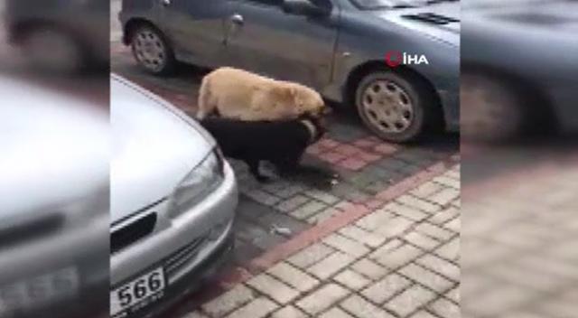 Bursa'da Pitbull dehşeti: Sokak köpeğine saldırdı