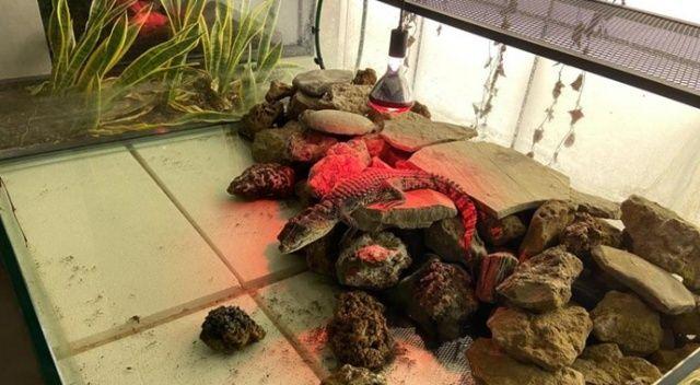 Şehrin göbeğinde beslenen timsaha el konuldu