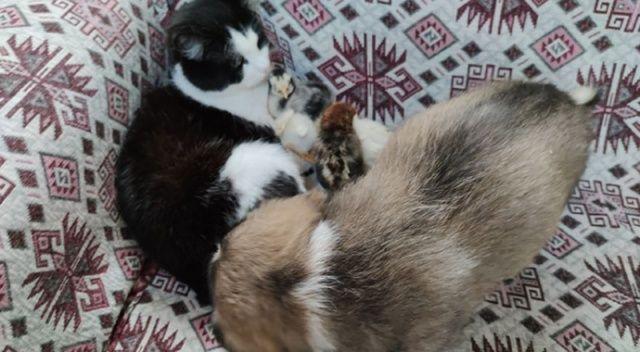 Yavrularını kaybeden kedi, civcivlere ve köpeklere annelik yapıyor