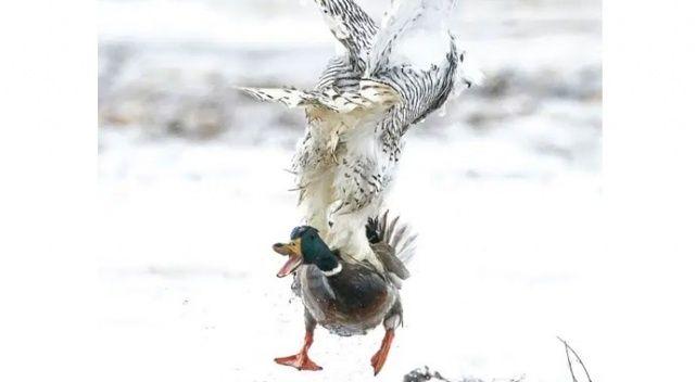 Aç baykuş koca ördeği kapıp götürdü