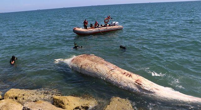 Dünyanın en büyük ikinci balinası, Mersin'de karaya vurdu