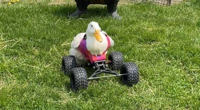 Felçli ördek tekerlek yardımıyla yürümeyi öğreniyor