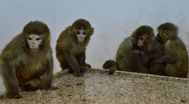 Gümrük kapısında 12 maymun yakalandı
