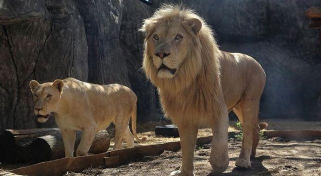 Hindistan'da sekiz aslan koronavirüse yakalandı