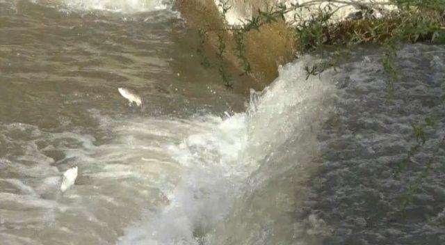Kars'ta balıkların 'ölüm' göçü başladı