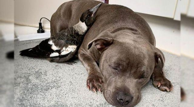Köpekle saksağanın şaşırtan dostluğu