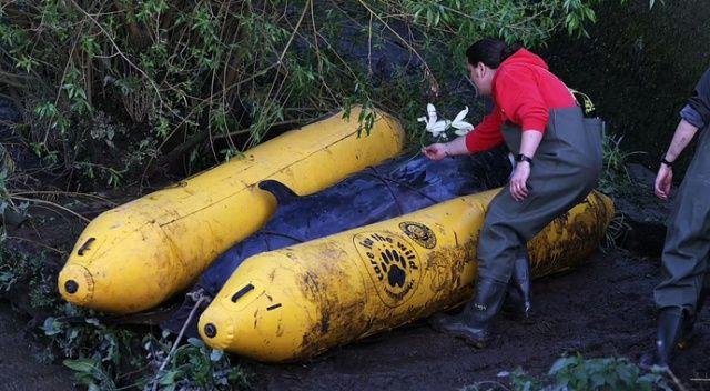 Küçük balina dün kurtarıldı, bugün öldürüldü