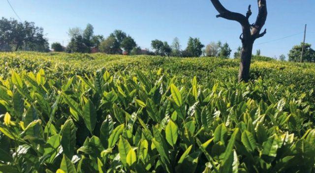 Lipton sağlıklı ve güvenli çay hasadı hazırlıklarını tamamladı