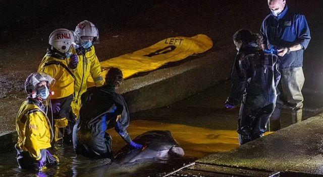 Nehirde mahsur kalan küçük balina için seferberlik