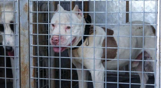 Pitbull cinsi köpeğiyle sokağa çıktı, cezadan kaçamadı