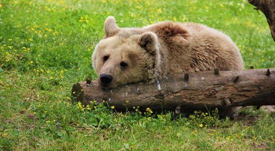 Boz ayılar öldürülüyor! Nesli tehlike altında
