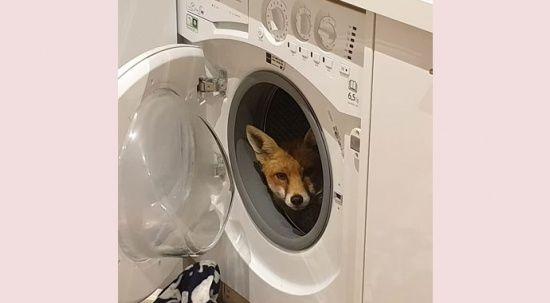 Çamaşır makinesinin içinde tilki buldu