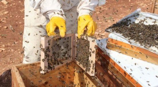 Gramı 500 TL: Adıyaman'da arı zehri üretimi
