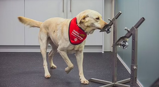 Köpekler Covid'i hızlı testlerden daha iyi tespit ediyor