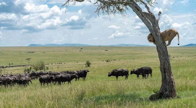 Ormanların kralı, bufalo sürüsünü görünce ağaca tırmandı