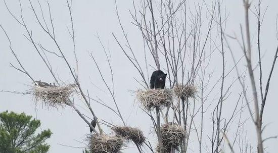 Ağaca tırmanan ayı kuş yuvasına böyle çıktı!