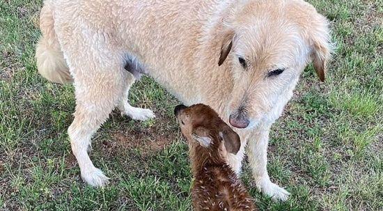 Köpek göle atlayıp geyik yavrusunu boğulmaktan kurtardı