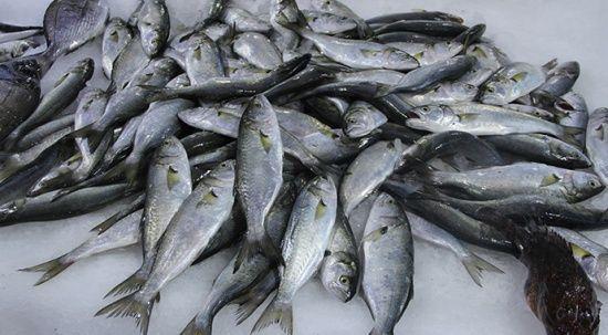 Müsilajdan kaçan balıklar Sinop'ta yüzleri güldürdü