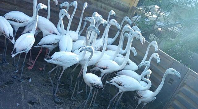 Antalya'da kanatları kesilmiş 32 yavru flamingo bulundu