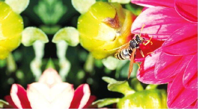 Arı alerjisi ölüme sebep olabilir