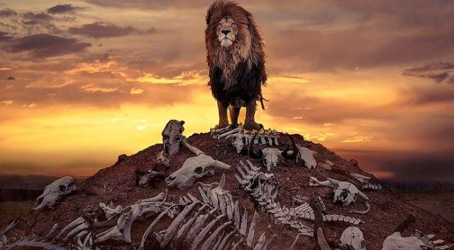 Aslanın gurur pozu!