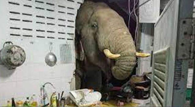 Karnı acıkan fil, bir evin mutfağına girdi