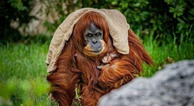 Nesilleri tehlikedeydi: Hayvanat bahçesinde Sumatra orangutanı sevinci