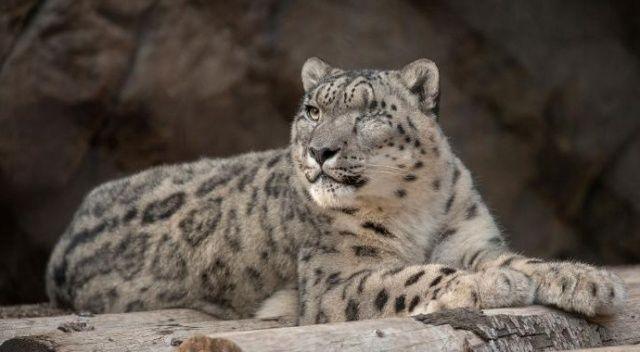 San Diego hayvanat bahçesindeki kar leoparında Covid-19 çıktı