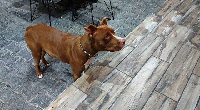 Tehlikeli ırk köpek besleyenlere kısırlaştırma ve kayıt zorunluluğu