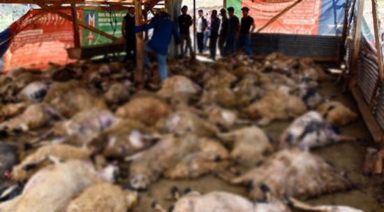 Ağıla giren kurtlar 103 koyunu telef etti, 43 koyunu yaraladı