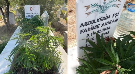 Anneanne ve dedesinin mezarına kenevir ekti