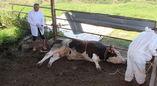 Kurban keseceklere uzmanından hayvan yatırma taktiği