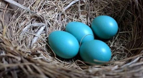 Mavi yumurta daha mı sağlıklı?