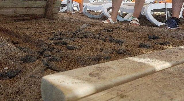 Onlarca yavru caretta, sahildeki yürüme yolu altında telef oldu