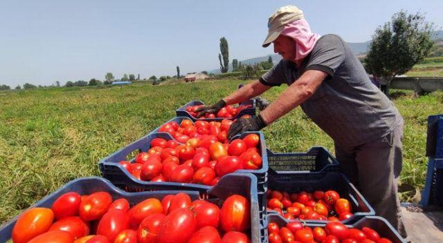 Salçalık domates tarlada 50 kuruş, salçanın kilosu ise markette 12 lira