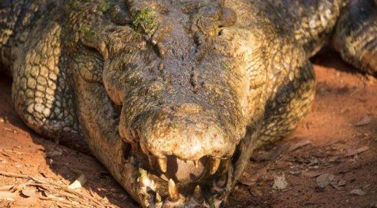 Avcılar 2 Avustralyalı askeri yaralayan timsahı yakaladı ve öldürdü