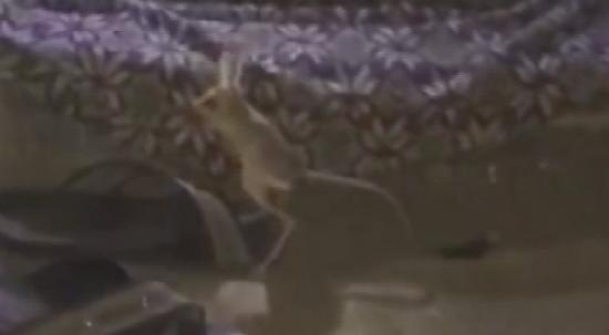 Kırmızı listede bulunan kanguru faresi Adıyaman'da görüldü
