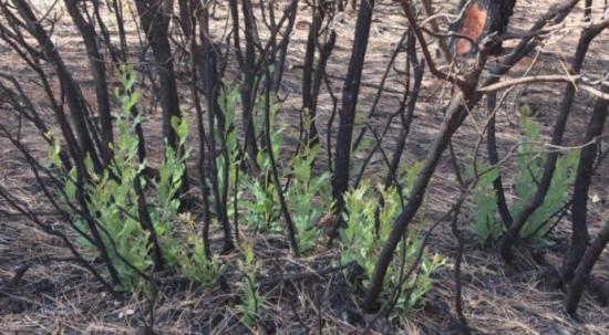 Orman yangınında yanan ağaçların kökleri filizlenmeye başladı