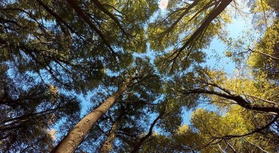 Uzmanlardan yangınlardan etkilenen Kızılçam ormanı için umutlu görüş
