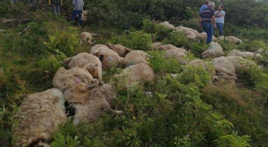 Yaylada sır olay! 112 koyun birden telef oldu