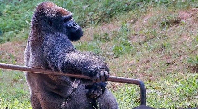 ABD'de koronaya yakalanan goril sayısı 18'e yükseldi