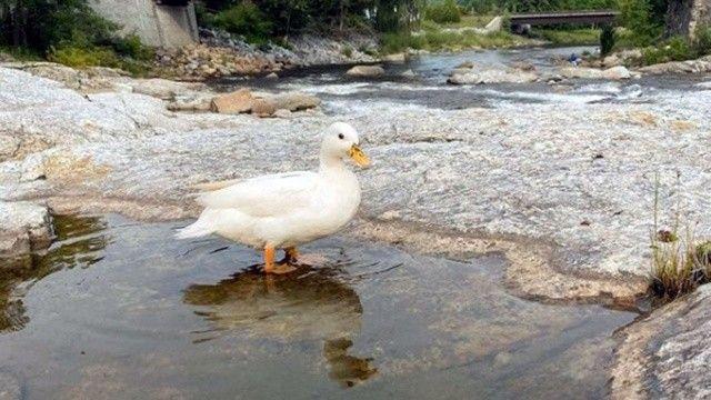 Bu ördek ayda 4.500 bin dolar kazanıyor
