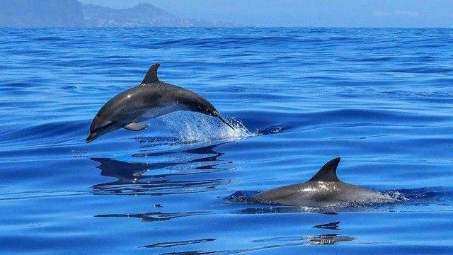 Festival değil katliam! 1500'e yakın balina ve yunus katledildi